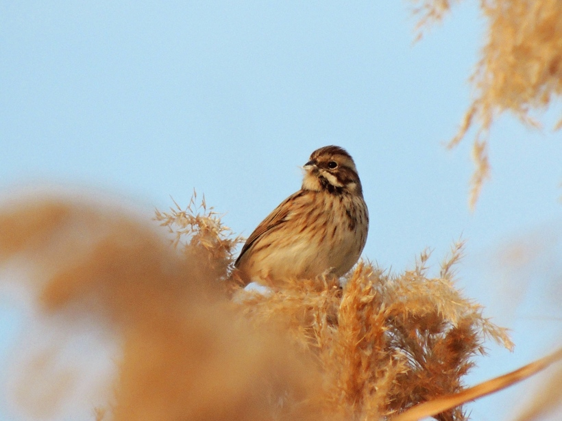 Reed Bunting  Larnaca Salt Lake January 2nd 2014 (c) Cyprus Birding Tours