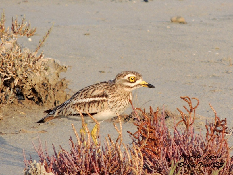 Stone Curlew Larnaca 15th January 2014 (c) Cyprus Birding Tours
