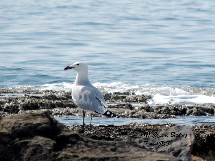 Audouin's Gull Kermia Beach February 28th 2014 (c) Cyprus Birding Tours
