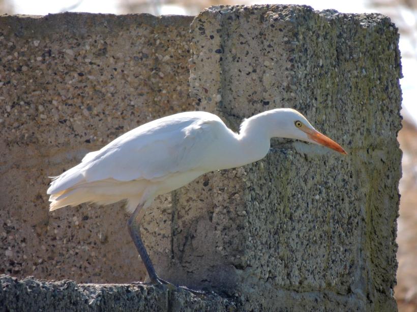 Cattle Egret Phassouri 26th February 2014 (c) Cyprus Birding Tours