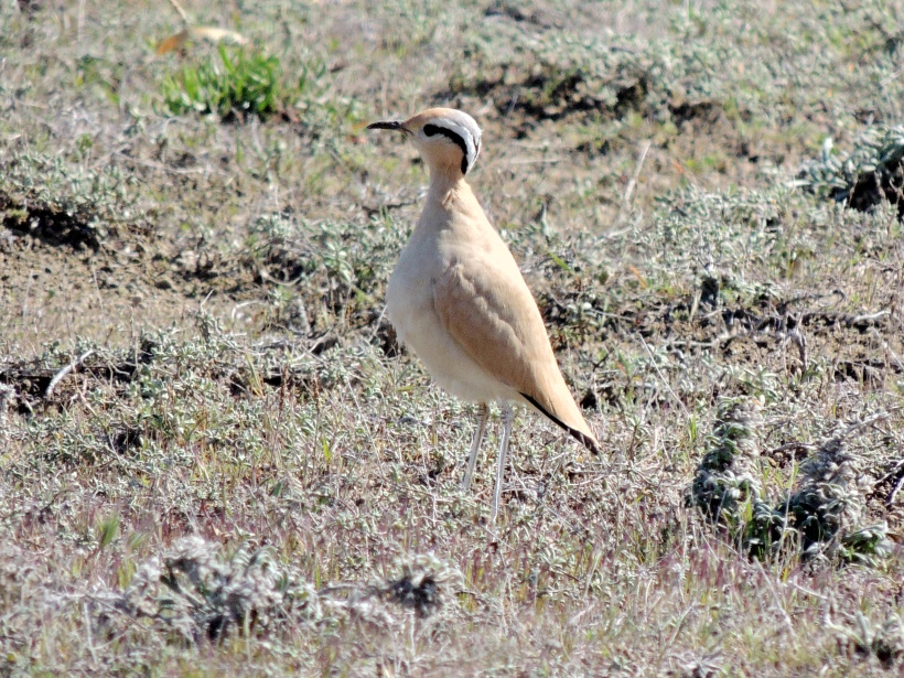 Cream-coloured Courser Akrotiri Gravel Pits February 26th 2014 (c) Cyprus Birding Tours