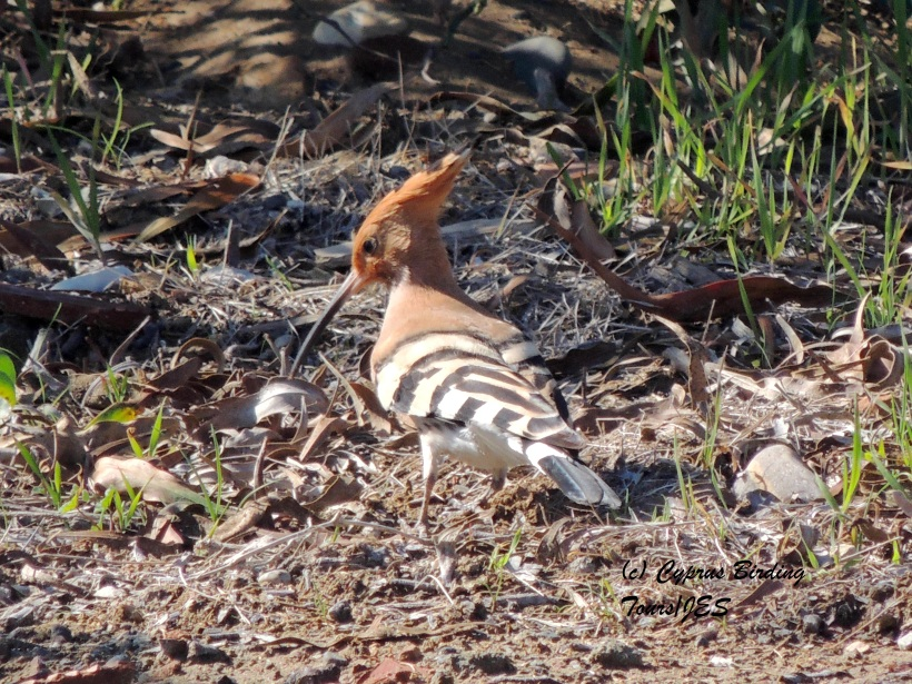 Eurasian Hoopoe Petounta Point February 18th 2014  (c) Cyprus Birding Tours