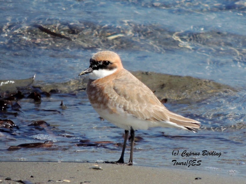 Greater Sand Plover  Meneou Beach 20th February 2014 (c) Cyprus Birding Tours