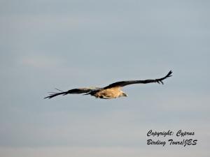 Griffon Vulture Kensington Cliffs February 1st 2014  (c) Cyprus Birding Tours
