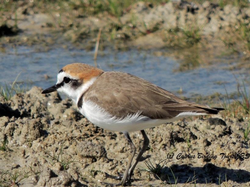 Kentish Plover Petounta Point February 13th 2014 (c) Cyprus Birding Tours
