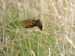 Serin Germasogeia Dam 12th February 2014 (c) Cyprus Birding Tours