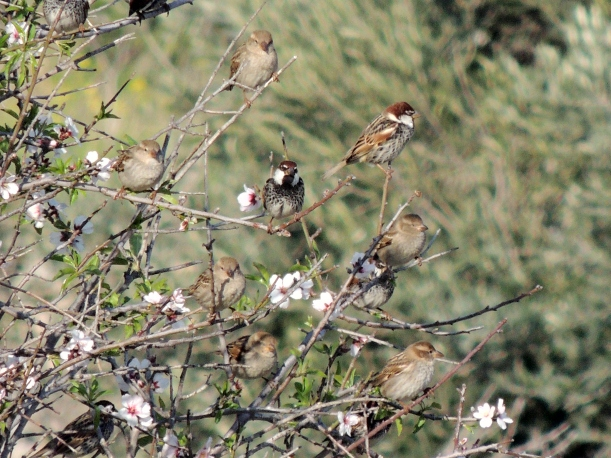 Spanish Sparrow Amathus 26th February 2014 (c) Cyprus Birding Tours