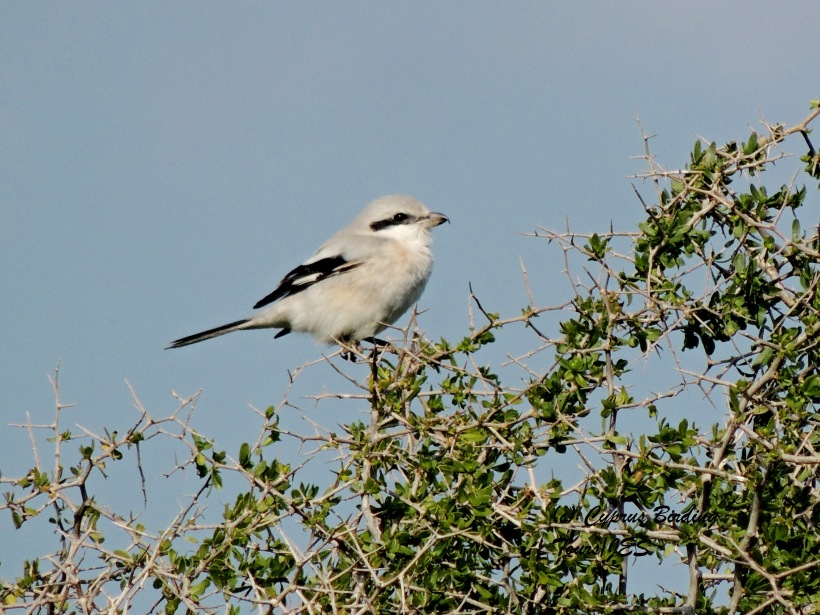 Steppe Grey Shrike Pervolia 16th February 2014 (c) Cyprus Birding Tours