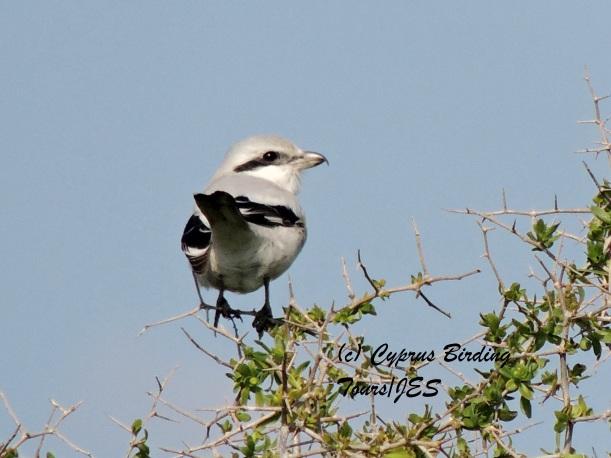 Steppe Grey Shrike Pervolia 16th February 2014 (c) Cyprus Birding Tours