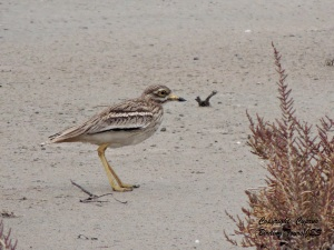 Stone Curlew Larnaca 2nd February 2014  (c) Cyprus Birding Tours