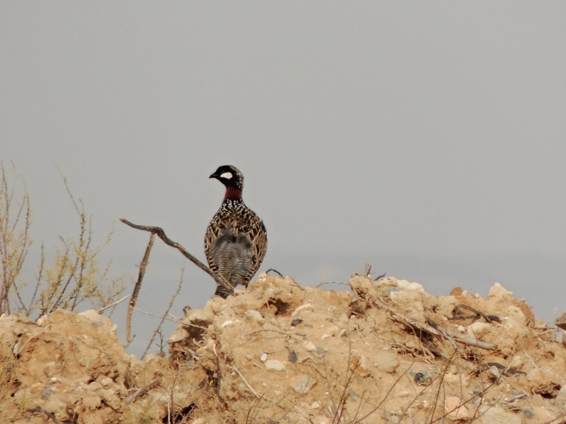 Black Francolin Larnaca Sewage Works 2nd March 2014 (c) Cyprus Birding Tours