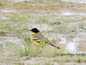 Black-headed Wagtail Petounta 3rd March 2014  (c) Cyprus Birding Tours