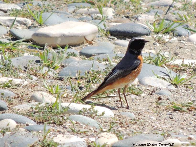 Common (Ehrenberg's) Redstart, Petounta Point March 20th 2014 (c) Cyprus Birding Tours