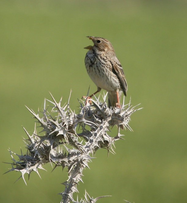 Corn Bunting March 19th (c) Carl Hughes