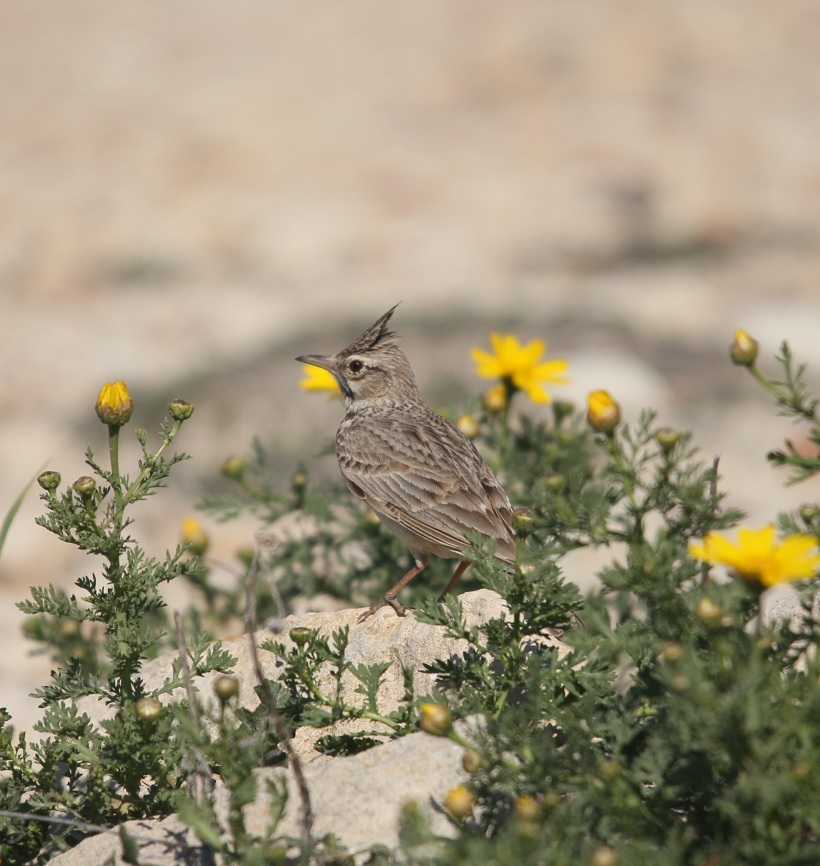 Crested Lark March 19th (c) Carl Hughes