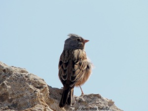 Cretzschmar's Bunting Cape Greco 5th March 2014 (c) Cyprus Birding Tours