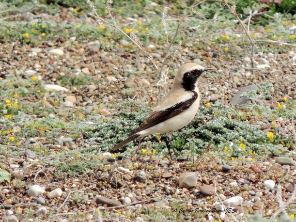 Desert Wheatear Mandria, 7th March 2014 (c) Cyprus Birding Tours