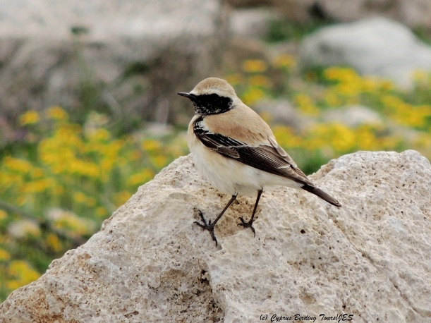 Desert Wheatear Paphos Headland 7th March 2014 (c) Cyprus Birding Tours
