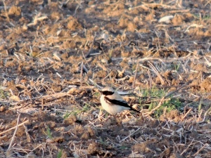 Desert Wheatear Petounta 4th March 2014 (c) Cyprus Birding Tours