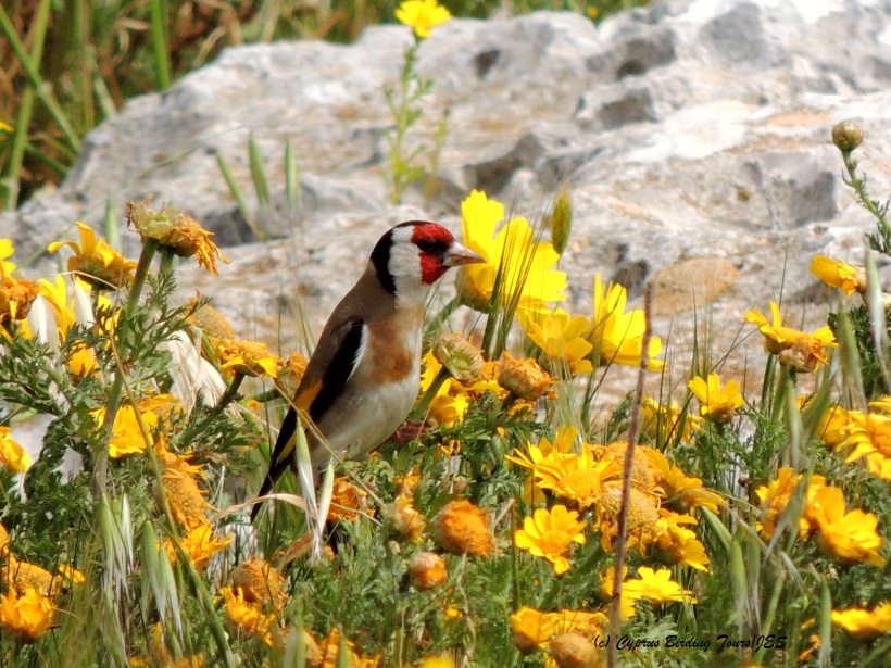 Goldfinch Cape Greco 17th March 2014  (c) Cyprus Birding Tours