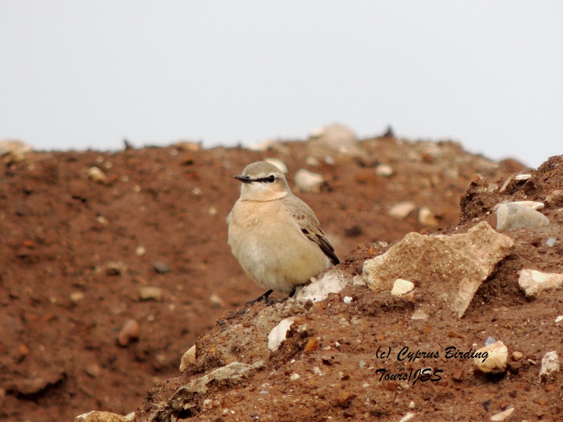 Isabelline Wheatear  Petounta Point 1st March 2014 (c) Cyprus Birding Tours