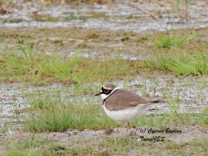 Little Ringed Plover Petounta 3rd March 2014  (c) Cyprus Birding Tours