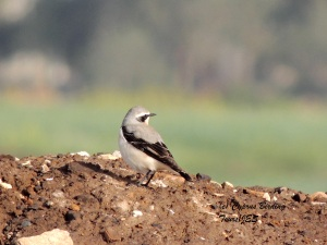 Northern Wheatear Petounta 3rd March 2014  (c) Cyprus Birding Tours