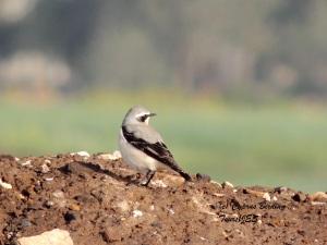 Northern Wheatear Petounta 3rd March 2014  (c) Cyprus Birding Tours
