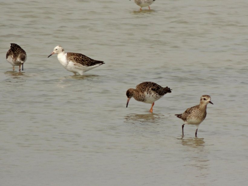 Ruff and Golden Plover Spiros Pool 2nd March 2014. (c) Cyprus Birding Tours