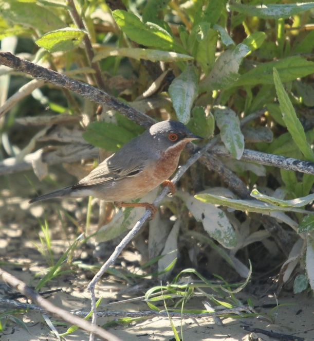 Subalpine Warbler Cape Drepanum March 19th (c) Carl Hughes