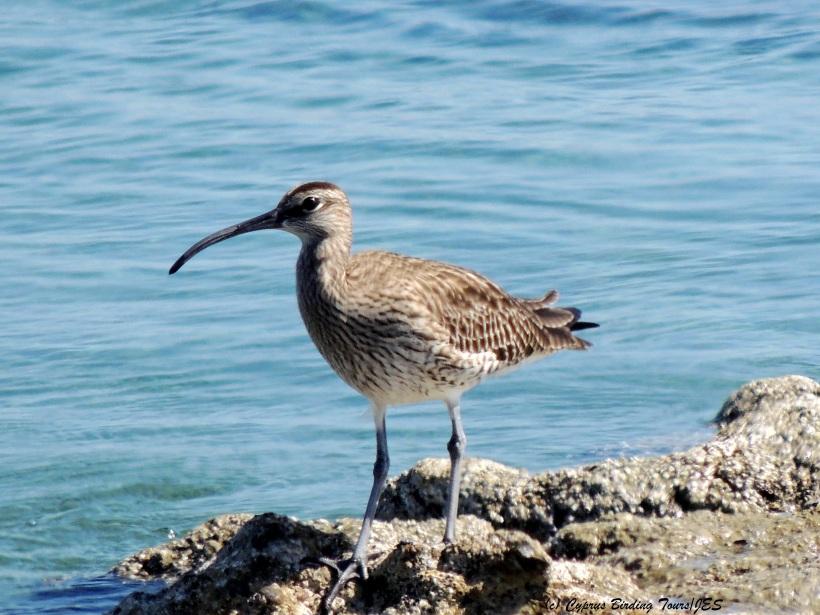 Whimbrel  Larnaca Airport Coast March 20th 2014 (c) Cyprus Birding Tours