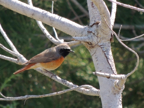Common Redstart Agios Georgios Church April 4th 2014 (c) Cyprus Birding Tours