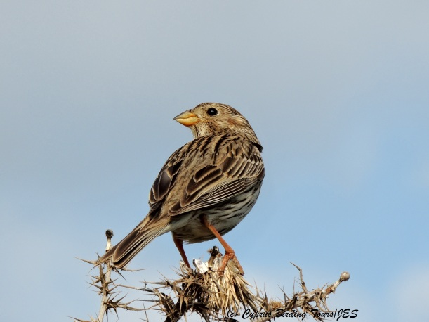 Corn Bunting Anarita Park 31st March 2014  (c) Cyprus Birding Tours