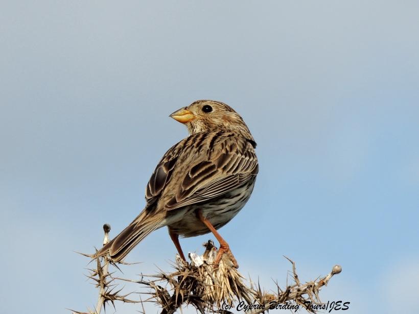 Corn Bunting Anarita Park 31st March 2014  (c) Cyprus Birding Tours