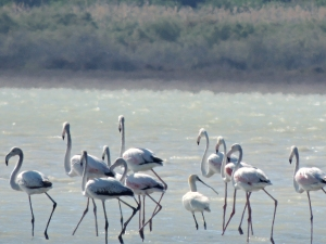 Greater Flamingo and a Eurasian Spoonbill Akrotiri Salt Lake 30th April 2014 (c) Cyprus Birding Tours