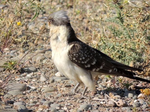 Great Spotted Cuckoo Anarita Park 17th April 2014 (c) Cyprus Birding Tours