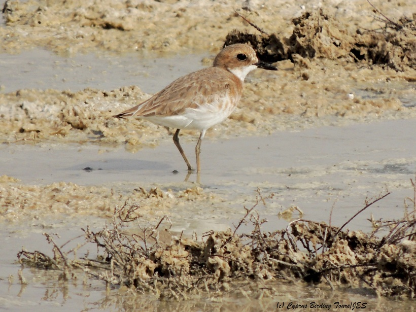Greater Sand Plover Meneou Pool April 5th 2014  (c) Cyprus Birding Tours