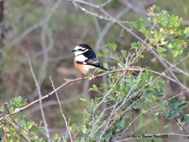 Masked Shrike Kannaviou 7th April 2014  (c) Cyprus Birding Tours
