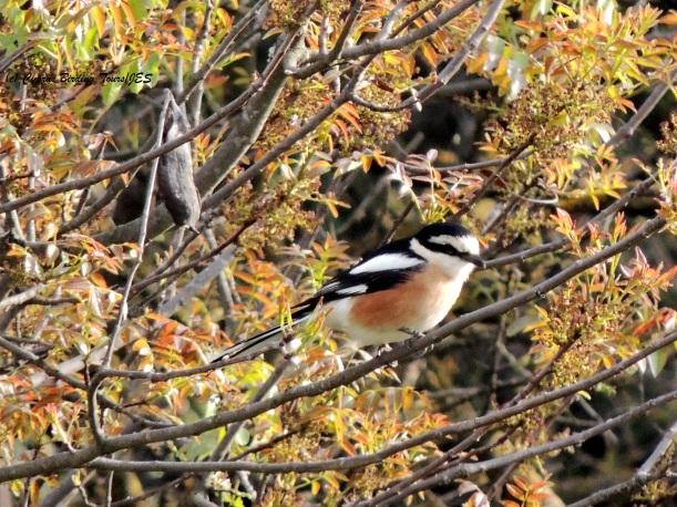 Masked Shrike Panagia Stazousa April 3rd 2014 (c) Cyprus Birding Tours