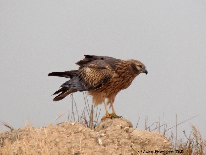 Montagu's Harrier Kivisilli Fields April 19th 2014 (c) Cyprus Birding Tours