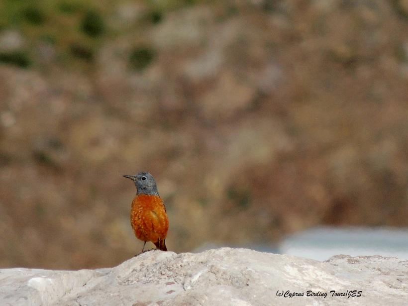 Rufous-tailed Rock Thrush Anarita Park March 31st 2014 (c) Cyprus Birding Tours