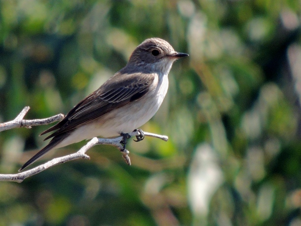 Spotted Flycatcher Agios Georgios Church April 30th 2014 (c) Cyprus Birding Tours
