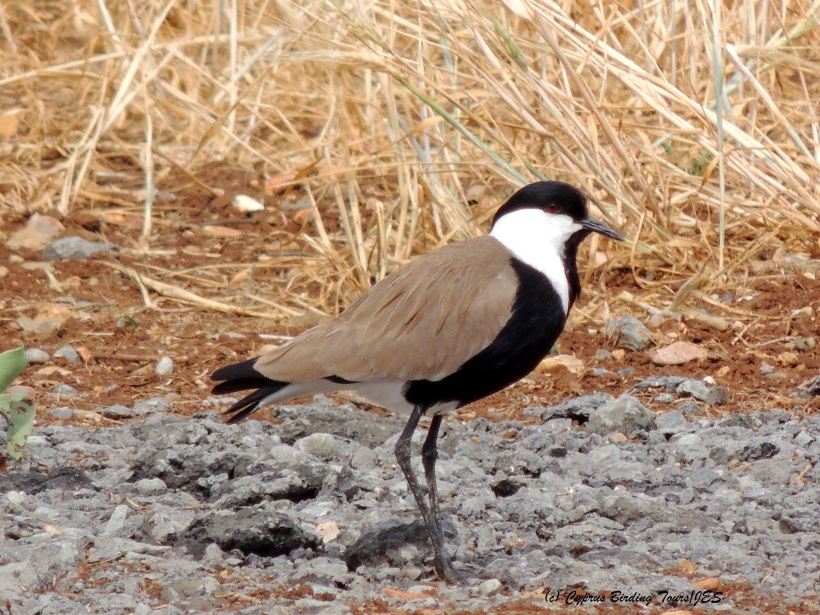 Spur-winged Lapwing Larnaca 19th April 2014 (c) Cyprus Birding Tours