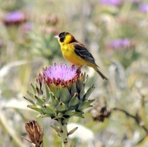 Black-headed Bunting  Perivolia May 10th 2014 (c) Cyprus Birding Tours