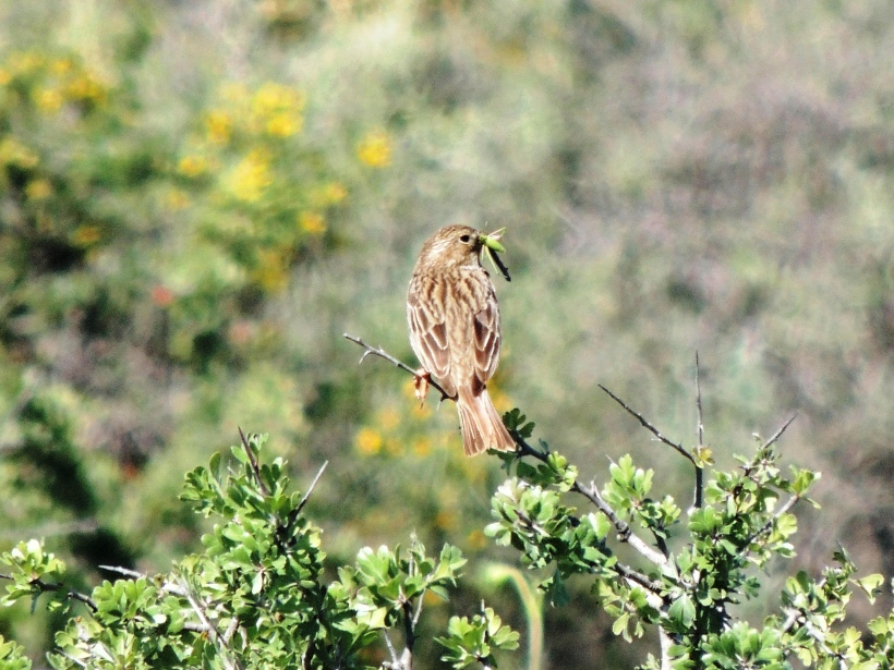 Corn Bunting with food for young Tsada track May 16th 2014 (c) Cyprus Birding Tours