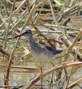 Wood Sandpiper, Petounta May 10th 2014 (c) Cyprus Birding Tours