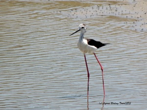 Black-winged Stilt, Akhna Dam 24th June 2014 (c) Cyprus Birding Tours