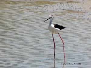 Black-winged Stilt, Akhna Dam 24th June 2014 (c) Cyprus Birding Tours