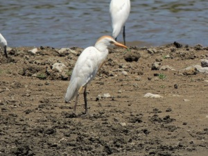 Cattle Egret, Akhna Dam 24th June (c) Cyprus Birding Tours