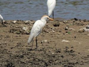 Cattle Egret, Akhna Dam 24th June (c) Cyprus Birding Tours